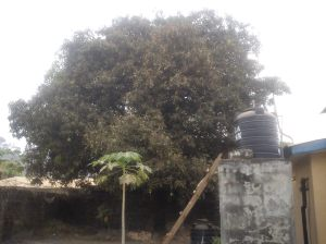 Obstructive Mango Tree in Makeni, Sierra Leone